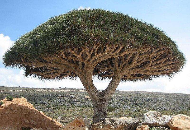 Dracaena cinnabari dragons blood tree